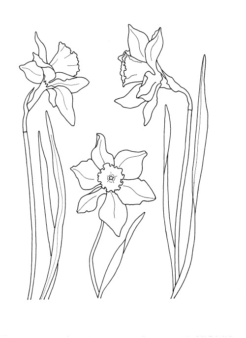 Click to open the drawing of daffodils for colouring in.