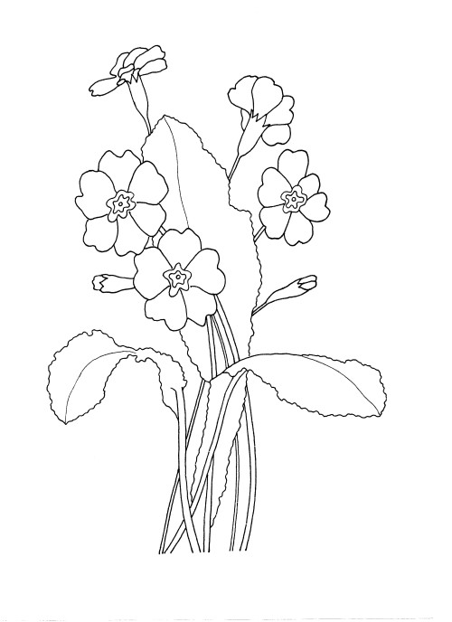 Click to open the drawing of primroses for colouring in.