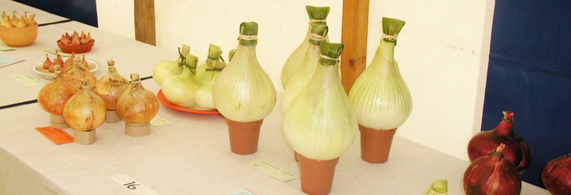 Onions on display at Spaxton Flower Show