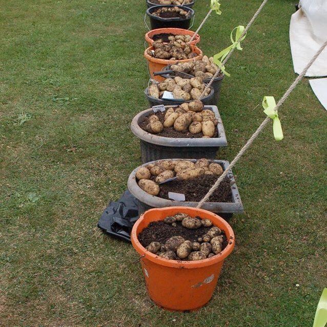 Potatoes in buckets